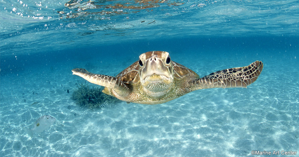 海のいきもの 第71回 ウミガメは顔が命