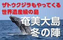 ザトウクジラもやってくる!奄美大島 冬の陣
