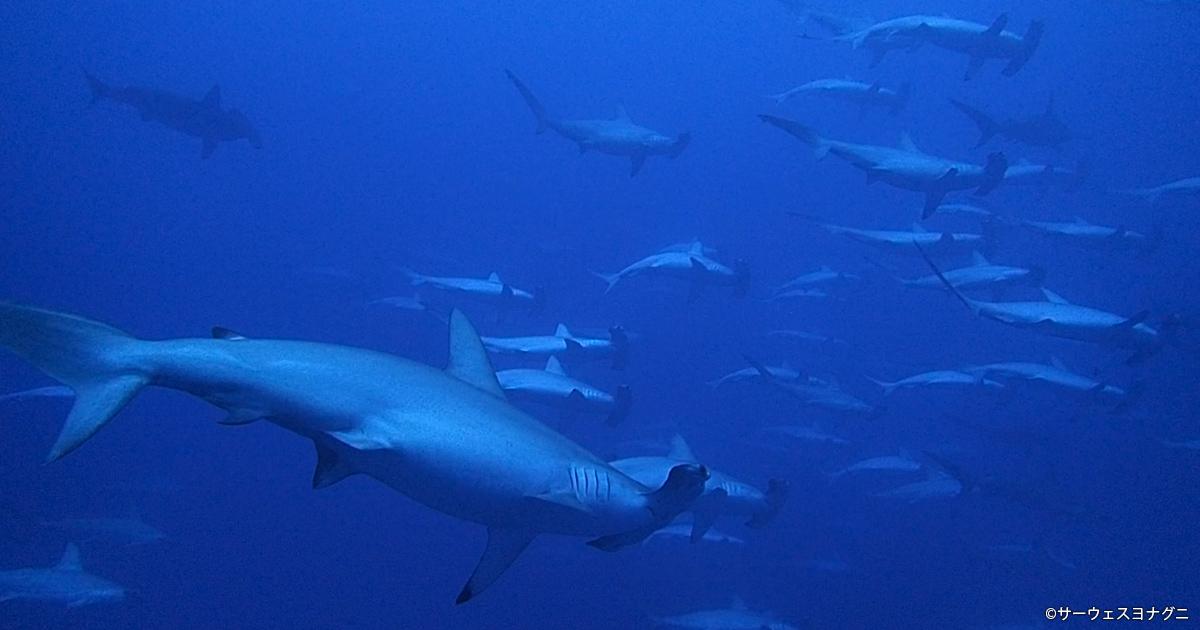 ハンマーの大群、ジンベエに海底遺跡!! 日本最西端のダイバー天国 与那国島