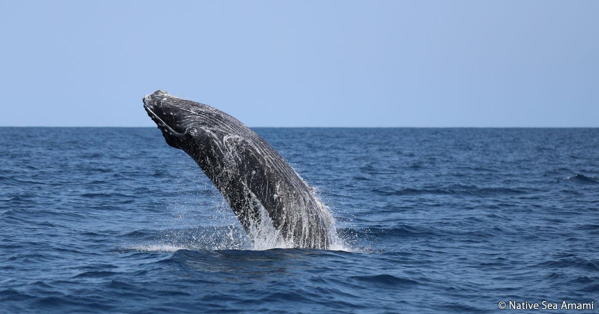 ザトウクジラもやってくる世界遺産級の島 奄美大島 冬の陣