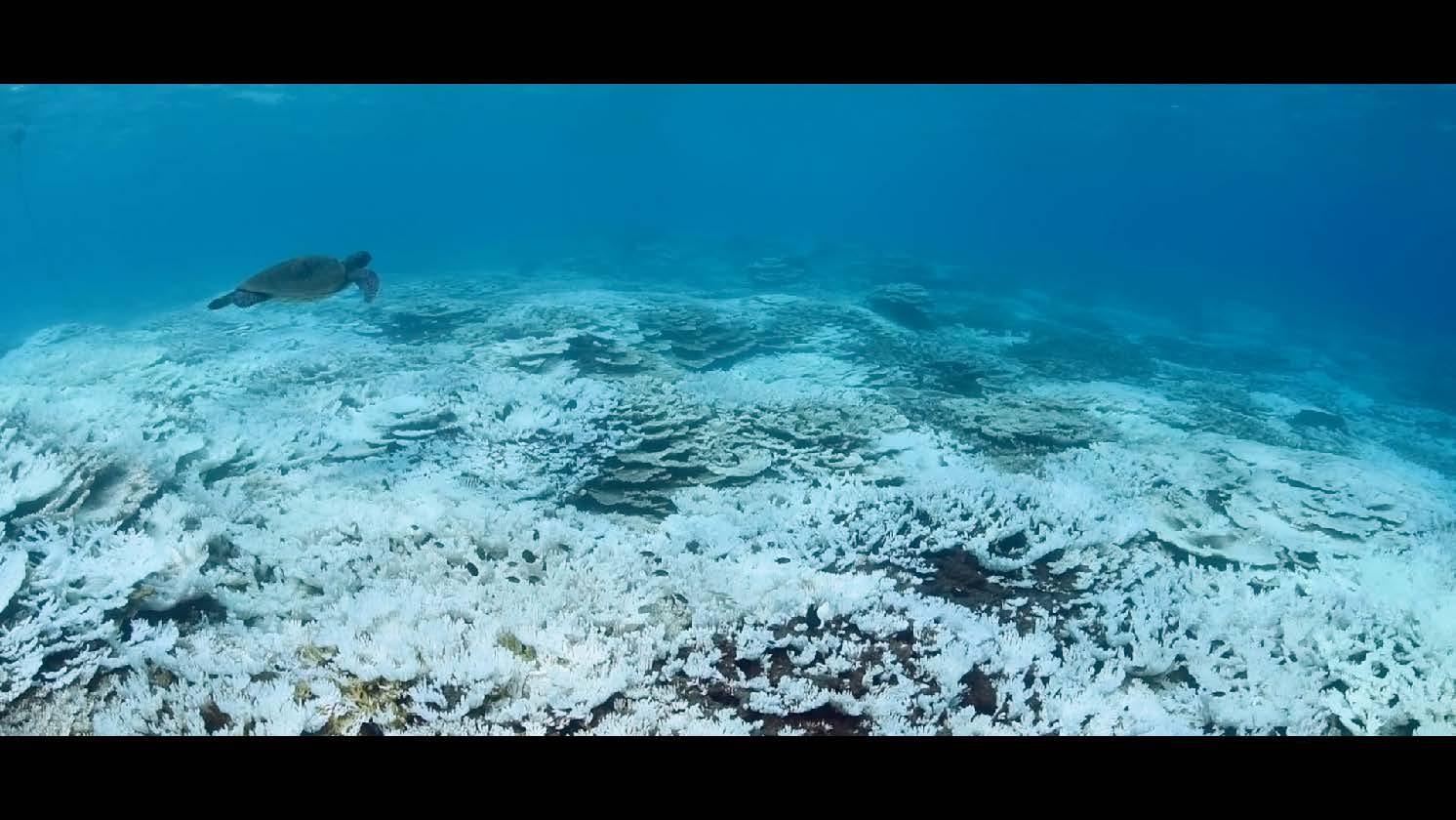 地球温暖化による水温上昇の影響で白化したサンゴ (八丈島、底土海水浴場)