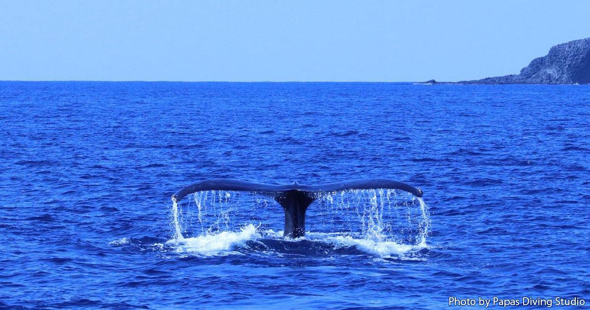 海の中でも会えるかも!? 小笠原にザトウクジラがやってくる♪