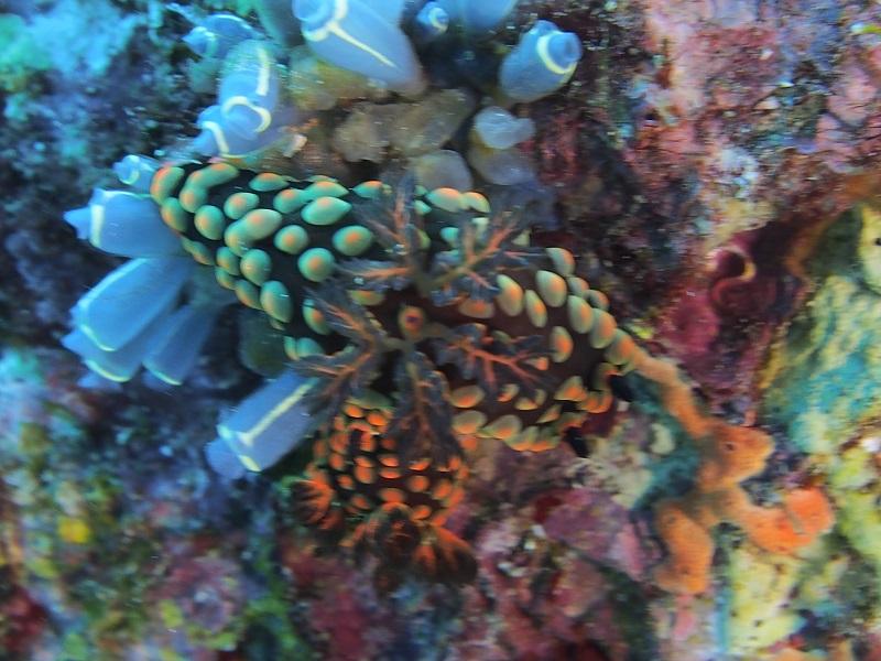 筆者・後藤が柏島に慣れない一眼を持って行った時に、レンズの焦点距離を把握せずに撮って、まったく撮れなかったベニゴマリュウグウウミウシ。こんな経験があるからこそのウミウシ水中写真企画なのです(言い訳)