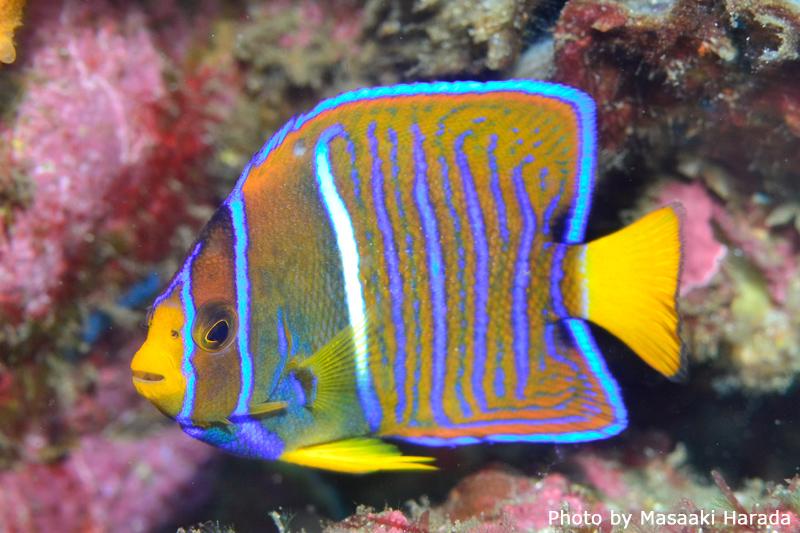 ストライプが美しい若魚