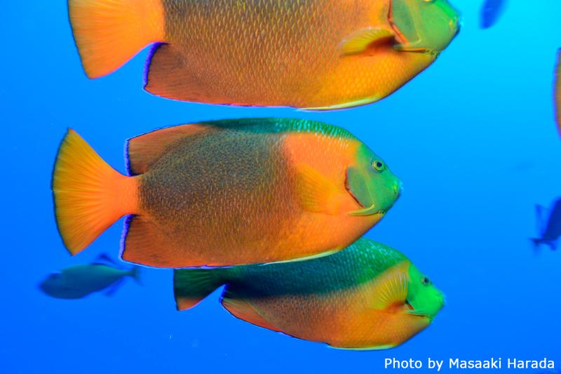 成魚の群れ