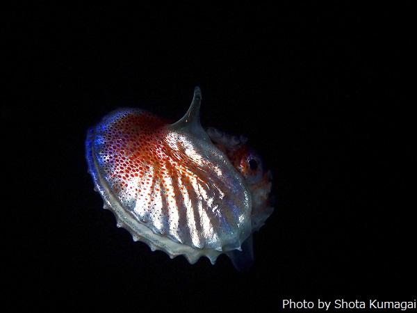 アオイガイ。アンモナイトのような生物に見えますが、殻を持つタコです