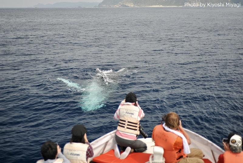 「クジラたちも安心しているので、間近でパフォーマンスが見られることも珍しくありません」と30年以上ホエールウオッチングに携わっている《ダイビングチームあなたの清》の宮城清さん
