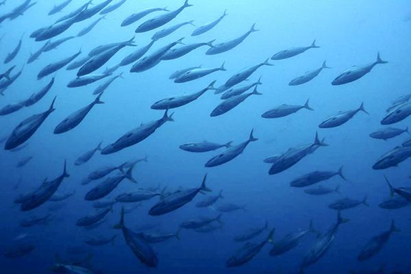 小値賀島周辺の海は魚影の濃さが魅力。回遊魚の群れも期待大!