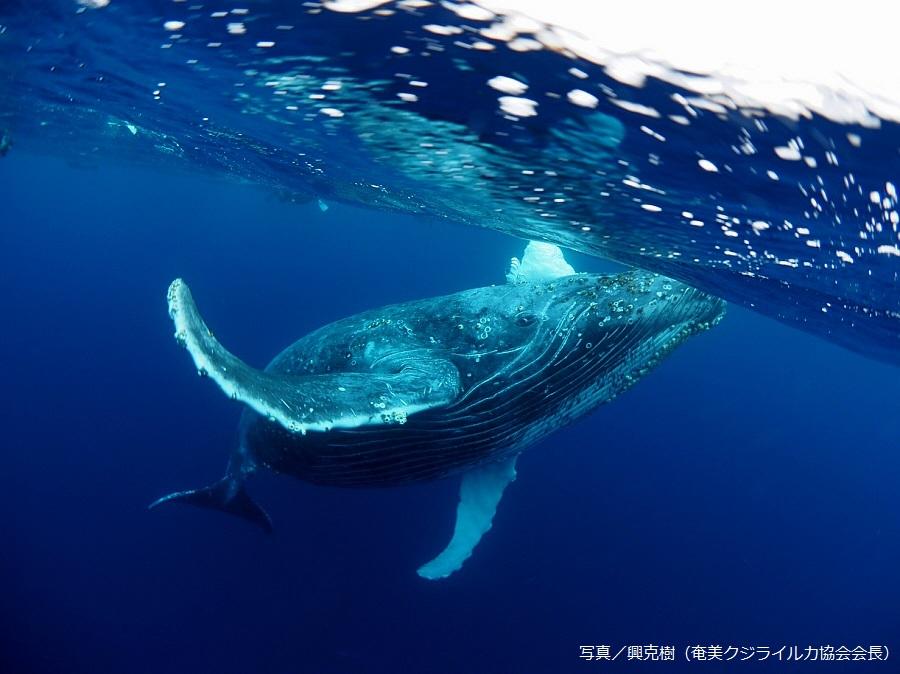 水中でクジラに出会えたときの感動は、他に比べようもありません!