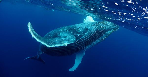 奄美大島のザトウクジラは、今年は例年の1.5倍増!?