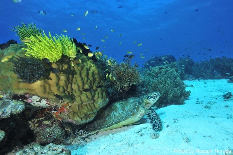 サンゴ礁にできた砂地にさらにサンゴの根が点在するボホール島沖のバリカサグ島「ブラックフォレスト」。ウミガメにたくさん会えるダイビングスポットとしても人気です