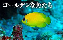 海のいきもの 第78回 ゴールデンな魚たち