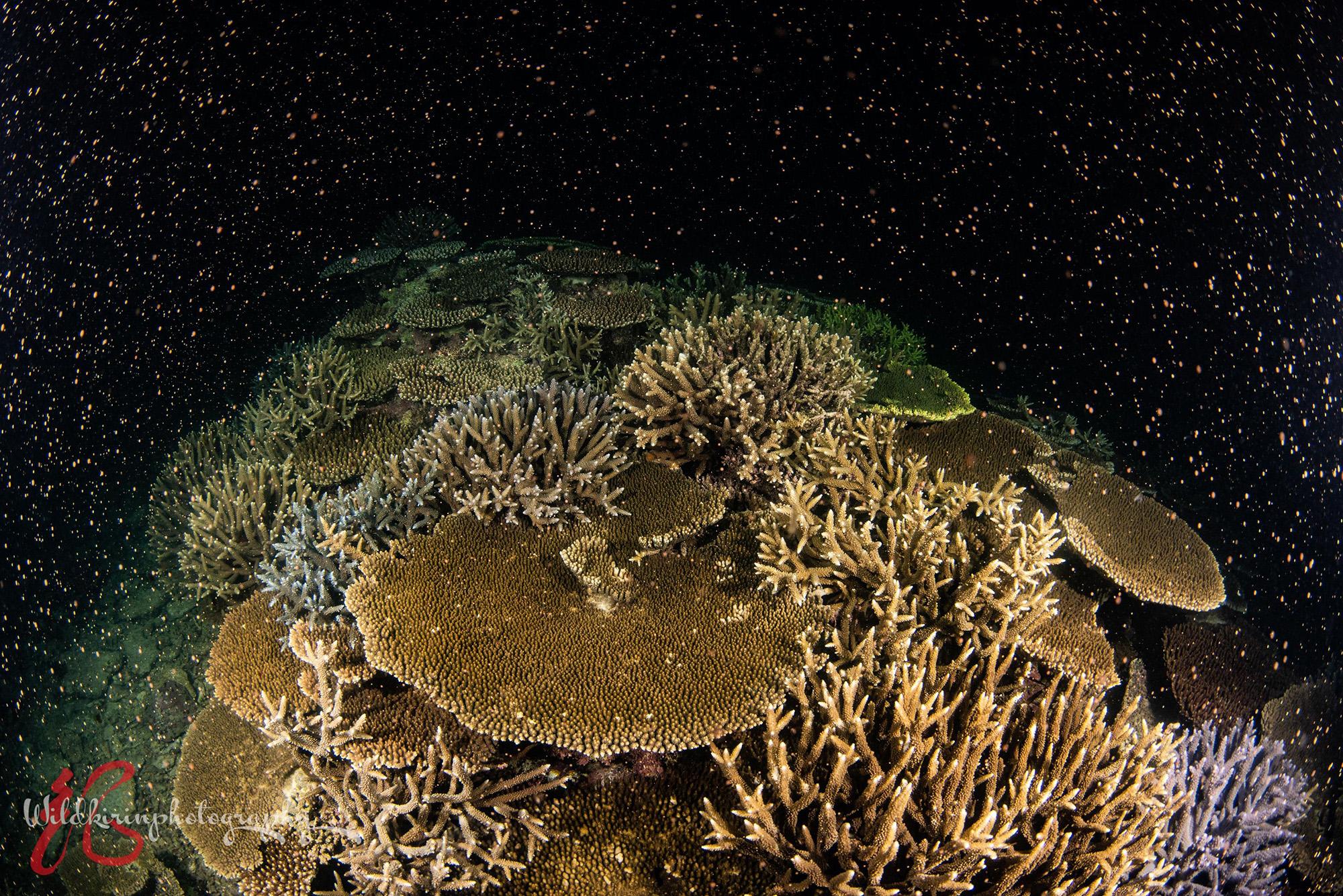 石垣島で幻想的なサンゴの産卵シーン