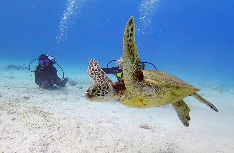「ラウラウビーチ」のアオウミガメ