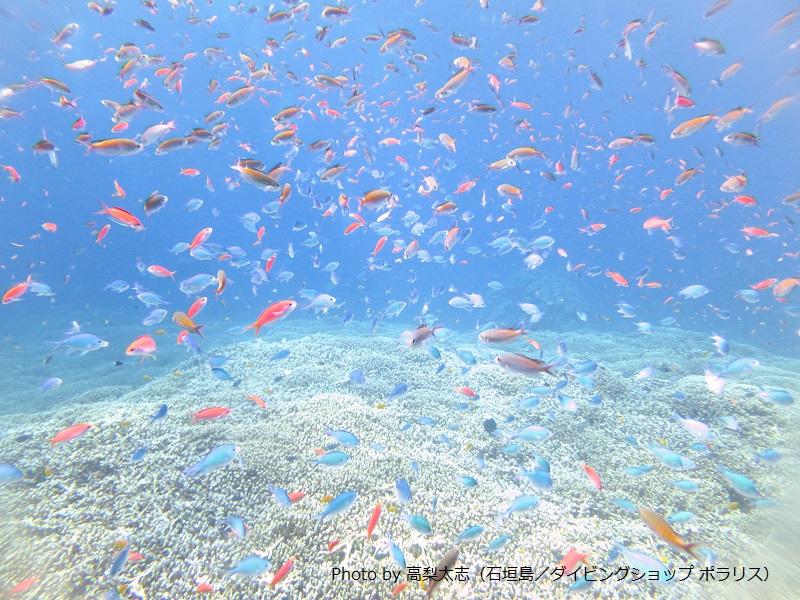 石垣島周辺でもサンゴ礁が蘇ってきている。サンゴ礁に大乱舞する魚たち