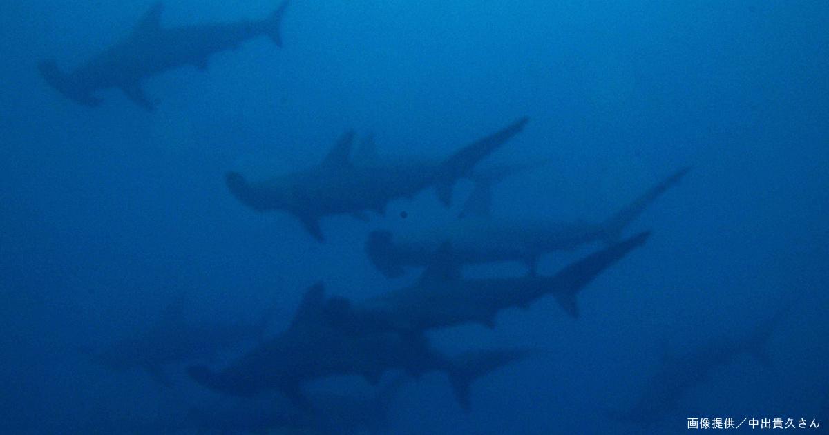 大瀬崎の湾内にハンマーの群れが出た!